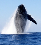 Photo by Del Giddings. Breaching 45', 90,000# Humpback Whale off the coast of Hawaii, 100' in front of our 12' ocean